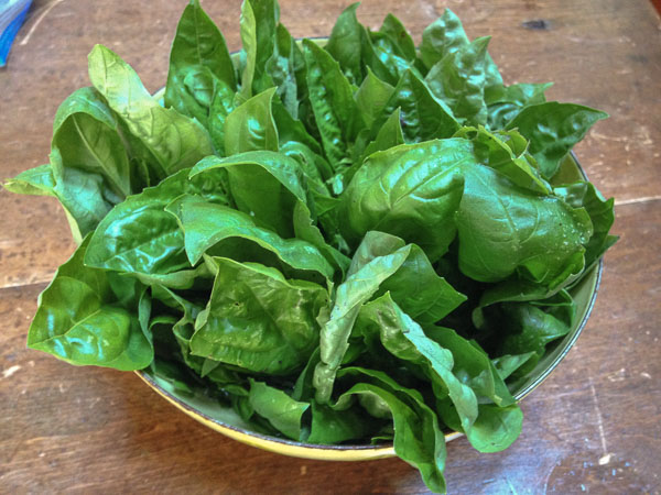 how to keep basil leaves fresh